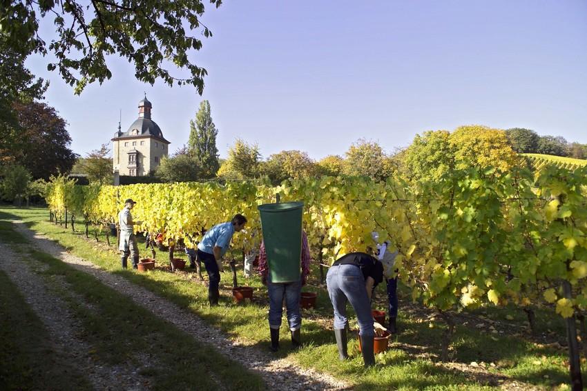 Weinlese Schloss Vollrads